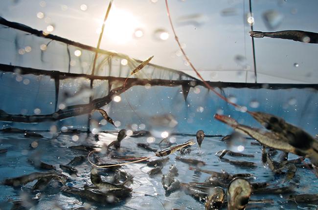 farmed prawns splashing in water